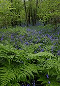 Forest with fern and flowering Common bluebells (Hyacinthoides non-scripta), Cornwall, England, Great Britain