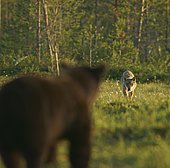 Brown bear (Ursus arctos) and wolf (Canis lupus), encounter, Karelia, Finland, Europe