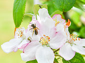 Wild bee picking an apple blossom, France