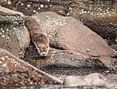 Eurasian otter (Lutra lutra), at the entrance of its shelter, Shetland Islands