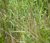 Bearded reedling (Panurus biarmicus) young on reed, Brittany, France