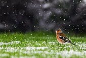 Chaffinch (Fringilla coelebs) adult lying in the grass under a snow shower, France