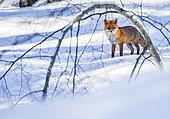 Renard roux (Vulpes vulpes) dans la neige, Jura, France