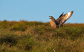 Great skua (Stercorarius skua) on the ground shouting to defend its territory, Norway