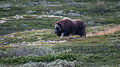 Musk ox (Ovibos moschatus) male in Dovrefjell National Park, Norway