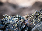 Rock Pipit (Anthus petrosus) resting on a rock, Brittany, France
