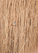 Bearded reedling (Panurus biarmicus) male on reed, Brittany, France