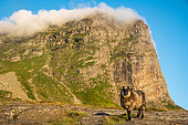 Domestic sheep, young male lamb on the island of Lovund, Norway