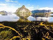 Queen Mountain and Knotted wrack (Ascophyllum nodosum), Lofoten, Norway