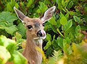 White-tailed deer (Odocoileus virginianus) feeding females