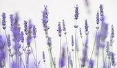 Lavender flowers (Lavandula sp)