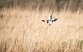 Common Shelduck (Tadorna tadorna) male in bridal plumage flying over a marsh flying from a reedbed, Brittany, France