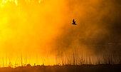 Black-headed Gull (Chroicocephalus ridibundus) flying in the mist at sunrise in a marsh, Brittany, France