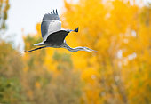Grey heron (Ardea cinerea) adult in flight in front of trees in autumn, Spain