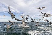 Group of Brown pelican (Pelecanus occidentalis), flying over water surface, Eastern Pacific Ocean, Bahia Magdalena, Baja California, Mexico
