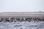 Group of Brown pelican (Pelecanus occidentalis), on the shore, Eastern Pacific Ocean, Bahia Magdalena, Baja California, Mexico