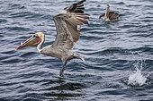 Male Brown pelican (Pelecanus occidentalis), Eastern Pacific Ocean, Bahia Magdalena, Baja California, Mexico