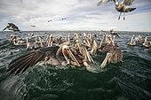 Group of Brown pelican (Pelecanus occidentalis), on the water surface, Eastern Pacific Ocean, Bahia Magdalena, Baja California, Mexico