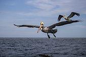 Brown pelican (Pelecanus occidentalis) flying over water, Eastern Pacific Ocean, Bahia Magdalena, Baja California, Mexico