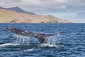 Grey whale (Eschrichtius robustus) diving with tail fluke above water, Magdalena Bay, Baja California, Mexico.