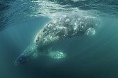 Two Grey whales (Eschrichtius robustus) underwater, Magdalena Bay, Baja California, Mexico.