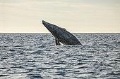 Grey whale (Eschrichtius robustus) breaching, leaping out of the water, Magdalena Bay, Baja California, Mexico.