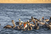 Brown pelican (Pelecanus occidentalis) floating inside the lagoon, Eastern Pacific Ocean, Bahia Magdalena, Baja California, Mexico