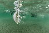 Brown pelican (Pelecanus occidentalis) feeding underwater, Eastern Pacific Ocean, Bahia Magdalena, Baja California, Mexico