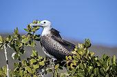 Young magnificent frigatebird (Fregata magnificens), Eastern Pacific Ocean, Bahia Magdalena, Baja California, Mexico