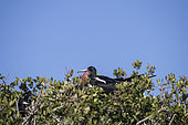 Couple of magnificent frigatebird (Fregata magnificens), Eastern Pacific Ocean, Bahia Magdalena, Baja California, Mexico