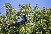 Male magnificent frigatebird (Fregata magnificens), Eastern Pacific Ocean, Bahia Magdalena, Baja California, Mexico