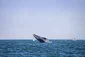 Grey whale (Eschrichtius robustus) breaching, leaping out of the water, with whale watching boat nearby, Magdalena Bay, Baja California, Mexico.