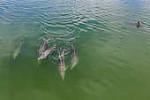 Aerial view of a pod of Bottlenose dolphin (Tursiops truncatus) swimming inside mangroves channels, Magdalena Bay, Puerto San Carlos,Baja California, Mexico.