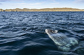 Grey whale (Eschrichtius robustus) surfacing, Magdalena Bay, Baja California, Mexico.