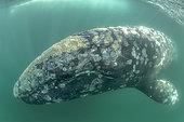 Grey whale (Eschrichtius robustus) underwater, Magdalena Bay, Baja California, Mexico.