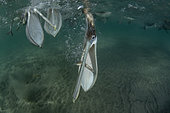 Brown pelican (Pelecanus occidentalis) feeding underwater, Eastern Pacific Ocean, Bahia Magdalena, Baja California, Mexico