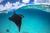 Reef manta ray (Mobula alfredi) in Mayotte lagoon.