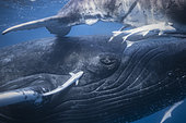 Humpback whale (Megaptera novaeangliae) and its calf in the waters of Mayotte lagoon.
