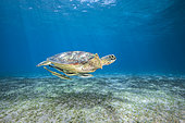 Young green turtle (Chelonia mydas) swimming over the N'Gouja meadow, Mayotte
