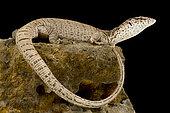 Pygmy mulga monitor (Varanus gilleni)