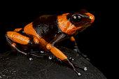 Lehmann's poison frog (Oophaga lehmanni)