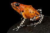 Harlequin poison-dart frog (Oophaga histrionica)
