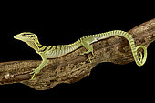Yellow tree monitor (Varanus reisingeri)