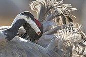 Crane (Grus grus) at the plumage care, Västergötland, Sweden, Europe