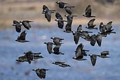 Flock of birds Western jackdaws (Coloeus monedula) flies over water, Västergötland, Sweden, Europe
