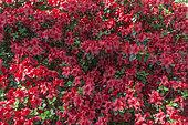 Rhododendron Nordlicht