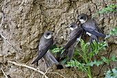 Sand Martin (Riparia riparia), nesting on the banks of the Allan at Allenjoie, Doubs, france