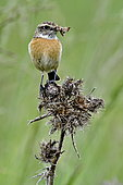 Siberian Stonechat (Saxicola torquata) female on a thistle, hunting to feed its chicks, Doubs, France