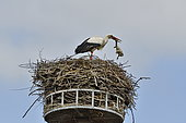 White Stork (Ciconia ciconia), adult ejecting a young dead chick from the nest, Nest built on a platform at Autrechène, Territory of Belfort, France