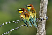 European Bee-eater (Merops apiaster), couple nesting in the lower valley of the river Bourbeuse, Territory of Belfort, France